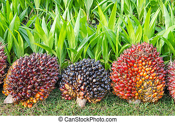 Pile of palm oil  - Pile of Palm Oil Fruits with Seedlings