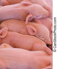 Pile of Piglets - a pile of pink piglets just born at the...