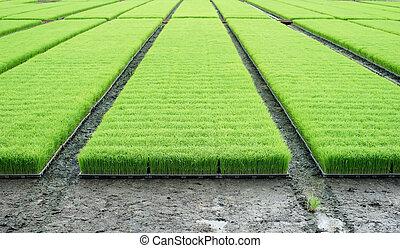 pile of rice seedlings