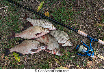 Pile of the common bream fish, crucian fish or Carassius, roach fish on the natural background. Catching freshwater fish and fishing rods with fishing reels on green grass