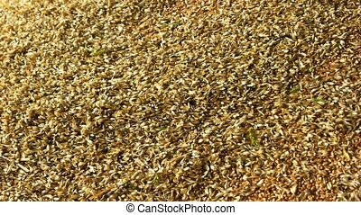 Pile of wheat grains, close up. Pouring grains in a factory.