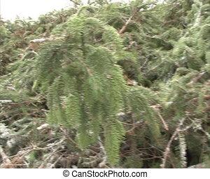 pile spruce brach snow