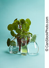 pilea peperomioide plant and water