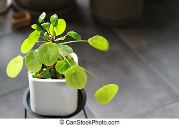 Pilea Peperomioides or Chinese money plant in a clay pot