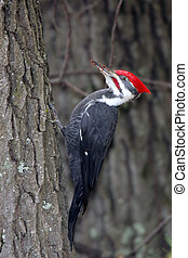 Pileated Woodpecker Clinging to Side of Tree - Large Adult...