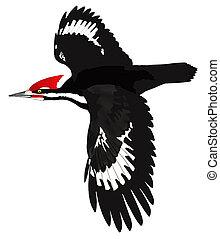Pileated Woodpecker (Dryocopus pileatus) in flight