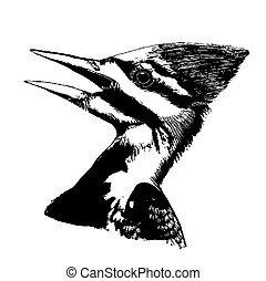 Pileated Woodpecker Dryocopus pileatus Pen-and-Ink