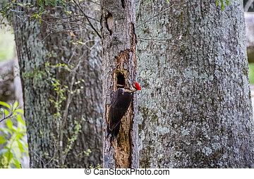 Pileated woodpecker making a hole