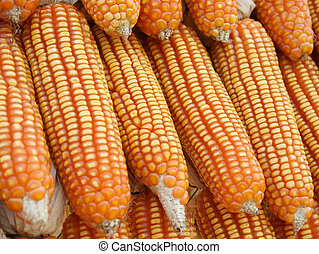 piles of sweet corn, material for corn starch