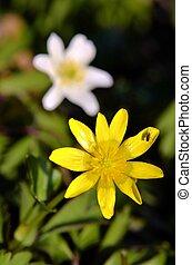 Pilewort flower