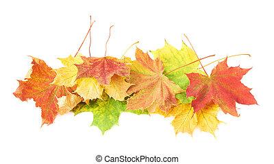 pilha, de, coloridos, maple sai, isolado