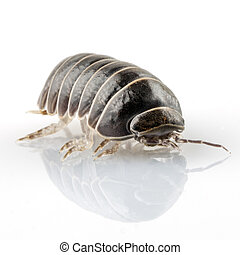 pill-bug, armadillidium, vulgare