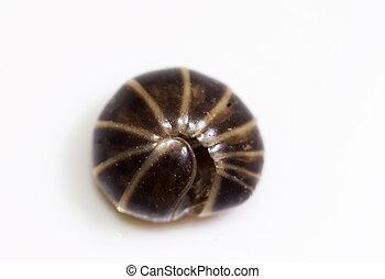 Pill millipede (Glomeris marginata)