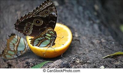 pillangók, táplálás