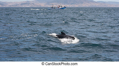Pilot whale and fisher boat - long-finned pilot whales at ...