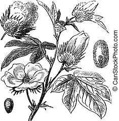 Pima Cotton or South American Cotton or Creole or Sea Island...