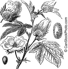 Pima Cotton or South American Cotton or Creole or Sea Island Cotton or Egyptian cotton or Gossypium barbadense, vintage engraving. Old engraved illustration of a Pima Cotton.