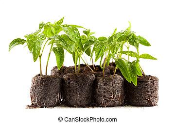 pimientas, guardería infantil, planta de semillero