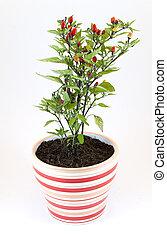 pimientas, planta potted