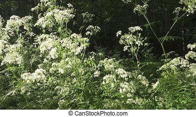 Pimpinella saxifraga, known as burnet-saxifrage, solidstem...
