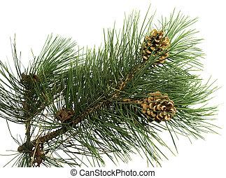 pin, branche, à, cône