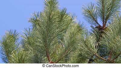 pin, coup, closeup, arbre
