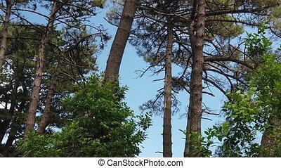 pin, fond, forêt