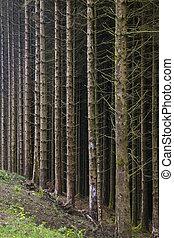 pin, -, forêt, arbres, ecosse