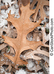 Pin-Oak Leaves First Snow
