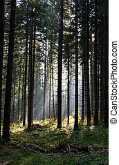 pin, rayons soleil, éclairé, arbres, forêt