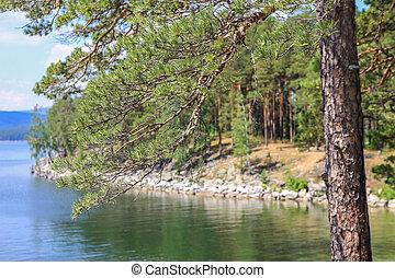 pin, sur, les, rivage, de, lac