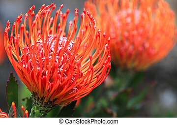 Pincushion protea closeup