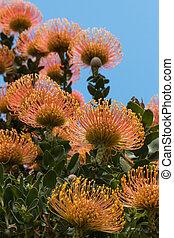 pincushion protea flowers