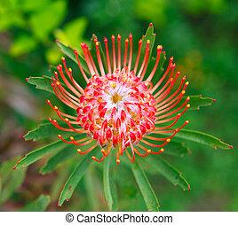 PIncushion protea pink and orange