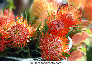 Large bucket of bright orange proteas are ready for sale at the Hilo Farmers Market on the Big Island of Hawaii.