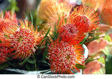 Pincushion Proteas - Large bucket of bright orange proteas...