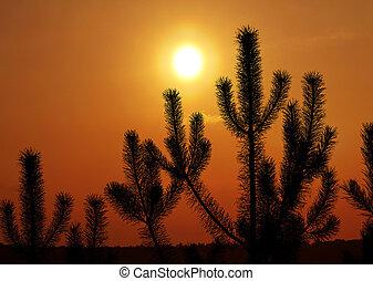 Pine against sunset