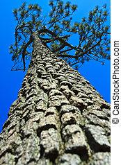 Pine against the blue sky.