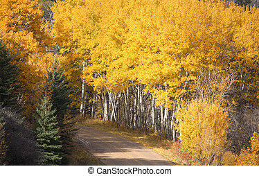 Pine and Aspen trees in fall