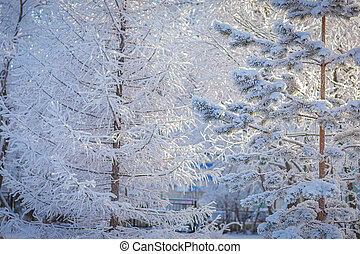 Pine and larch in white frost. Winter landscape.