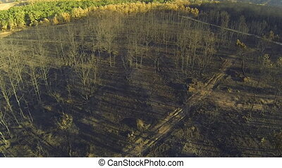Pine and poplar tree forest burnt area, aerial view