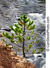 Pine and River in Yellowstone National Park
