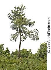 pine at Israel
