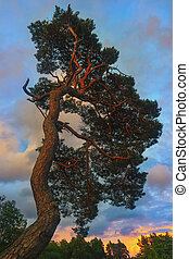 Pine at sunset in the forest