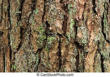 Pine bark - Figure pine bark with green moss