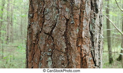 pine bark on tree in the wood. outdoor landscape