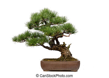 Pine bonsai on white