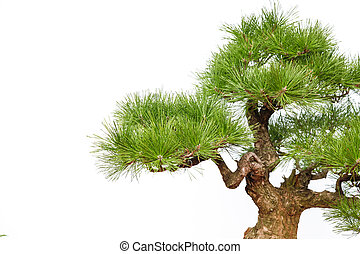 Pine bonsai on white (part)