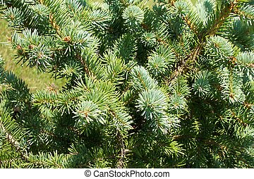 Pine bough - Background or texture.