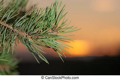 pine branch against sunset